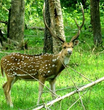 my wayanad deer